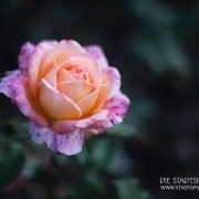 rosengarten (1 von 1)